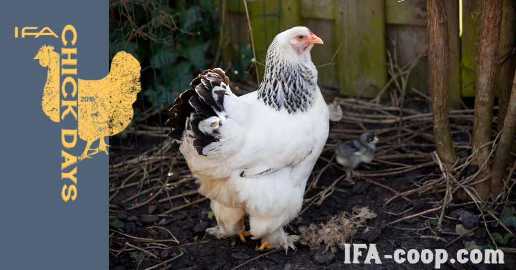 Brahma chickens are good with kids and produce 3 eggs per week
