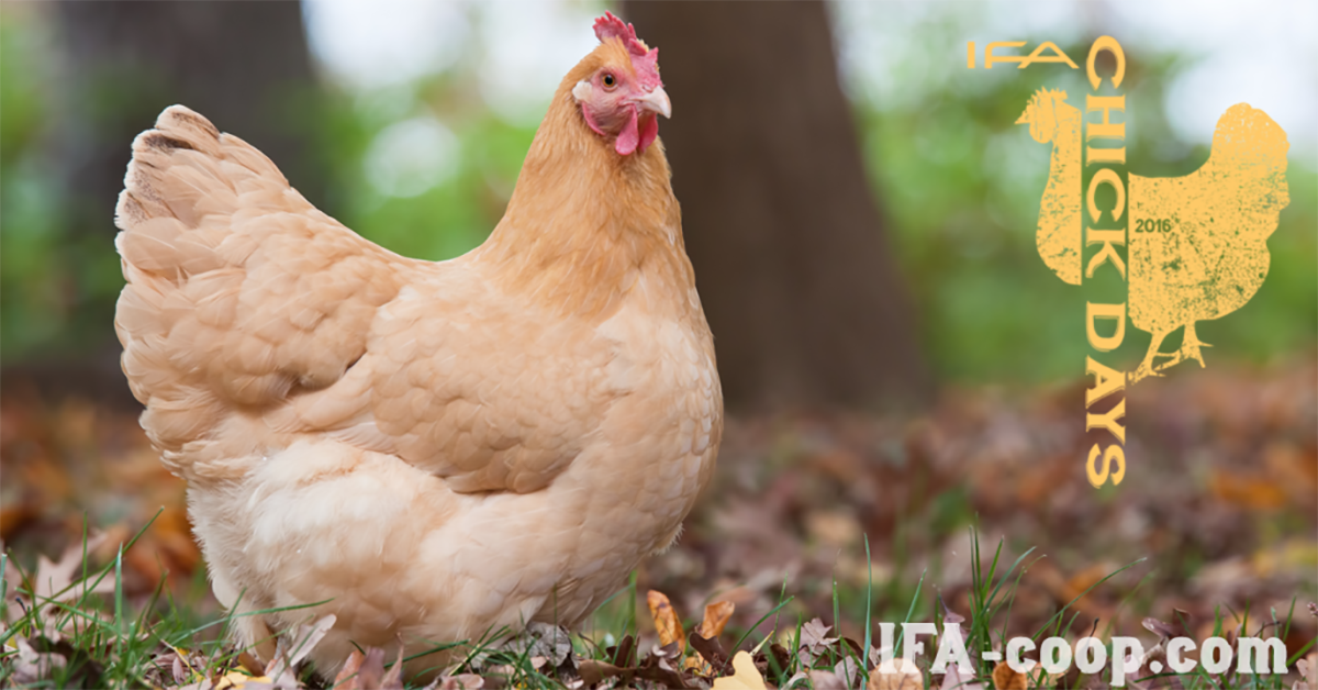 10 Chicken Breeds That Are Great For Kids