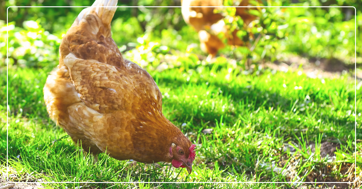 easy backyard chickens ifa country stores