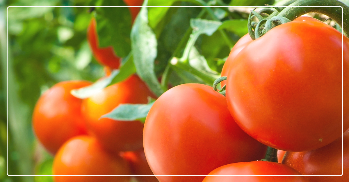 Tips For Growing Great Tomatoes Ifa Country Stores